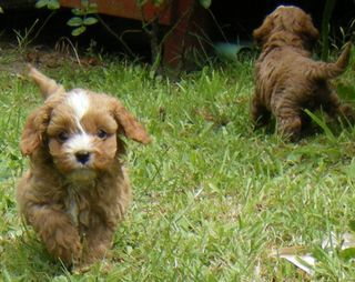 Cavoodle 1st Generation Puppies.