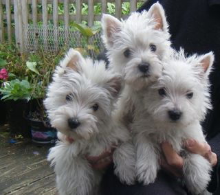 Westhighland White Terrier Puppies.