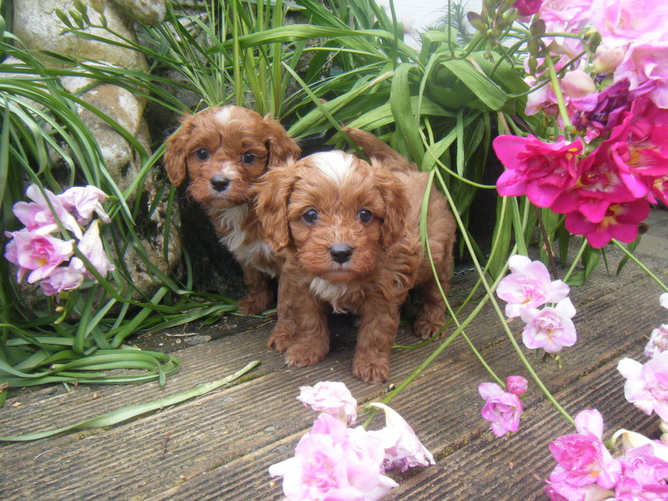 1st Generation Cavoodle Puppies