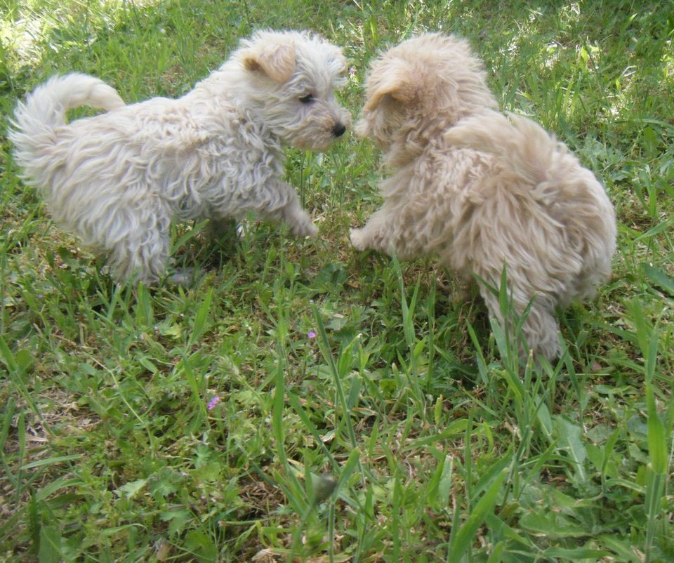 Westie Poodle 1st Generation, Puppies.